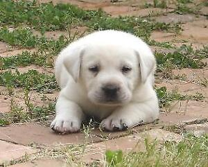 WANTED WHITE LAB