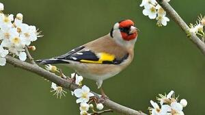 Chardonerret Elegant -- European Goldfinch $125