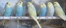 WTB Bonded breeding pair of budgies Redbank Ipswich City Preview