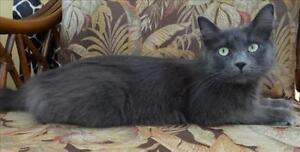 "Young Female Cat - Domestic Medium Hair: ""Twix"""