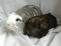 Two Beautiful Baby Guinea Pig Boys