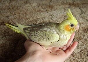 """""""""""❤★❤ Handfed Cockatiels with Cage❤★❤"""""""""""