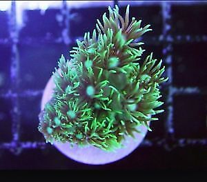 Large Green Star polyps Beautiful Soft Coral