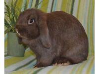 Mini flop rabbit