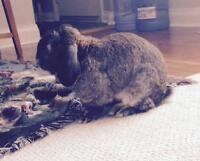 "Adult Male Rabbit - Holland Lop: ""BamBam"""