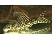Stunning 4-5in leopard para pleco