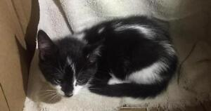 "Baby Female Cat - Domestic Short Hair-black and white: ""Jinx"""