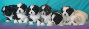 Shih Tzu Puppies Ready To Meet You - ONLY 2 MALES left