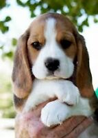 Searching for a Beagle puppy!