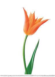 Tulip Smile1