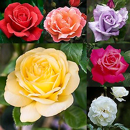 Bareroot Stunning Rose 🌹 Bushes