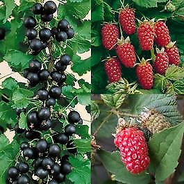 Bareroot Fruit plants 🌱