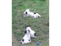 JACKRUSSEL PUPS