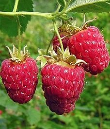 Raspberry bushes for trade or sale