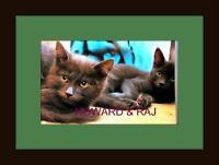 Male Cat - Domestic Long Hair-gray-Domestic Short Hair-gray