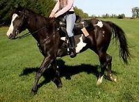 Registered American Paint Horse
