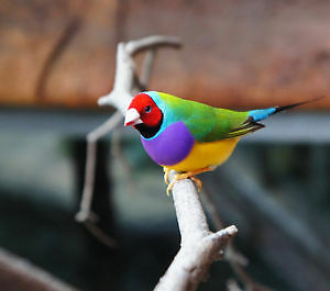 Wanted: Gouldian Finches