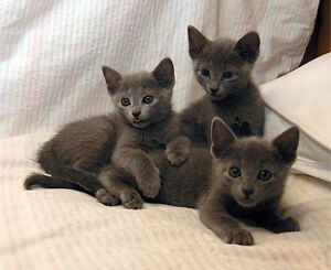 russian blue kittens 1-4 months old