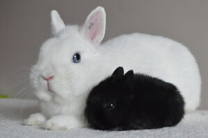 Twisted Whiskers Rabbitry - Purebred Netherland Dwarfs