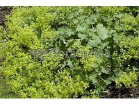 alchemillia mollis ladies mantle ladys cottage garden plant