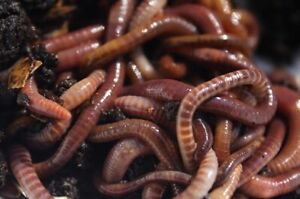 Red wiggler composting worms.