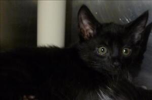 "Baby Female Cat - Domestic Short Hair: ""Ameila"""