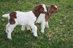 Cute Little Baby Goats , Urbenville Tenterfield Area Preview