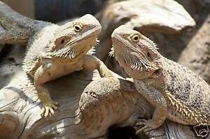 Bearded Dragon, lizard mix 10g- Grow your own food all year