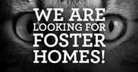 """Adult Female Cat - Domestic Short Hair: """"PLEASE FOSTER!"""""""