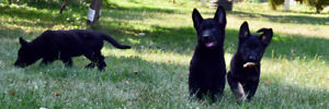 CKC breeding rights german shepherds