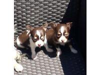 Chocolate Chihuahua females