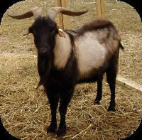 2 Billy Goats for sale