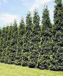 Screening Trees Ebay