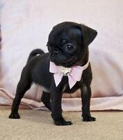 Looking for small black pug