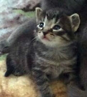 8 weeks kittens ready to new home
