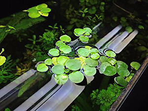 Looking for some Amazon Frogbit