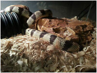 California King snake with tank and accessories.
