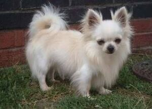 WANTED WHITE LONGHAIRED CHIHUAHUA FEMALE Parramatta Parramatta Area Preview
