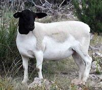 Looking for dorper ewes