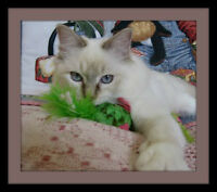 Young adult Ragdoll. Very Affectionate.