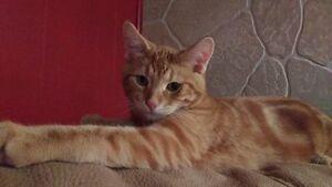 Dexter - Male Orange tabby kitten Kingston Kingston Area image 3
