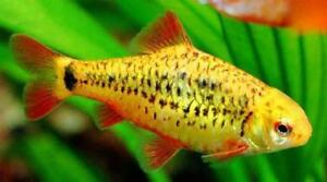 5 Gold barb fishes + guppy - healthy & beautiful
