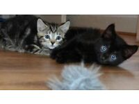 Kittens - 1 black & 1 tabby - good natured and ready now