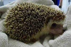 """Adult Male Small & Furry - Hedgehog: """"Toothless"""""""