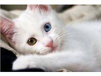 White Persian X Kittens