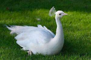 wanted White peahen