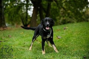 """Young Female Dog - Border Collie: """"Carrie"""""""