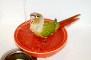 ❤★❤ Adorable,Tame CONURE Babies With CAGE❤★❤ Stratford Kitchener Area image 1