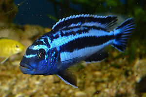 Electric Blue African Johani (fresh water fish)
