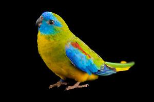 Seeking male turquoise parakeet